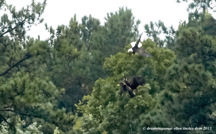 adult eagle chasing juvie 2