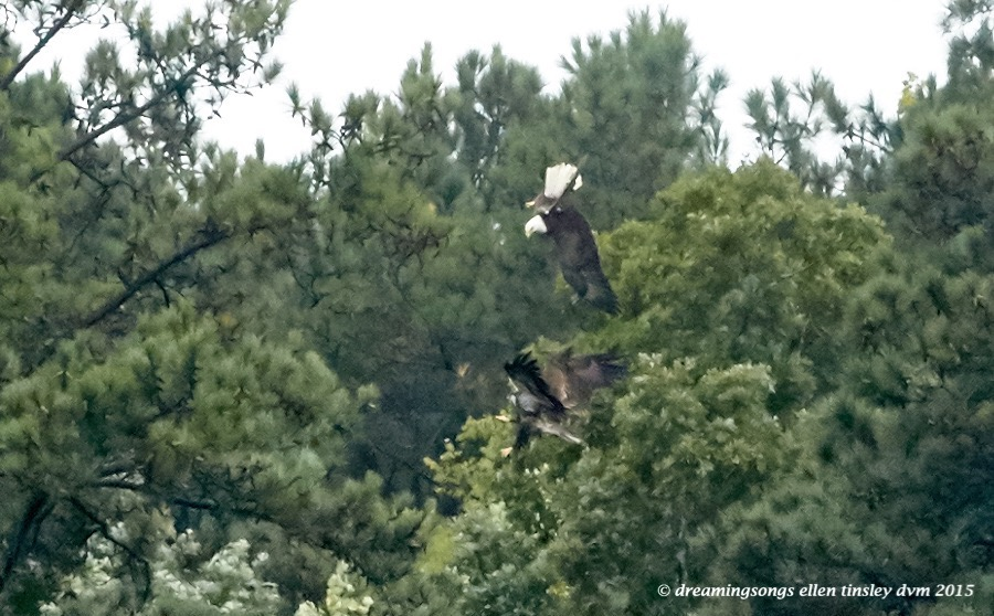 adult eagle chasing juvie 3