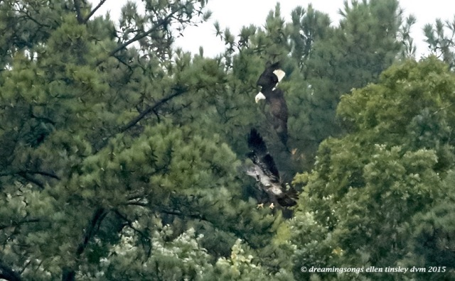 adult eagle chasing juvie 4
