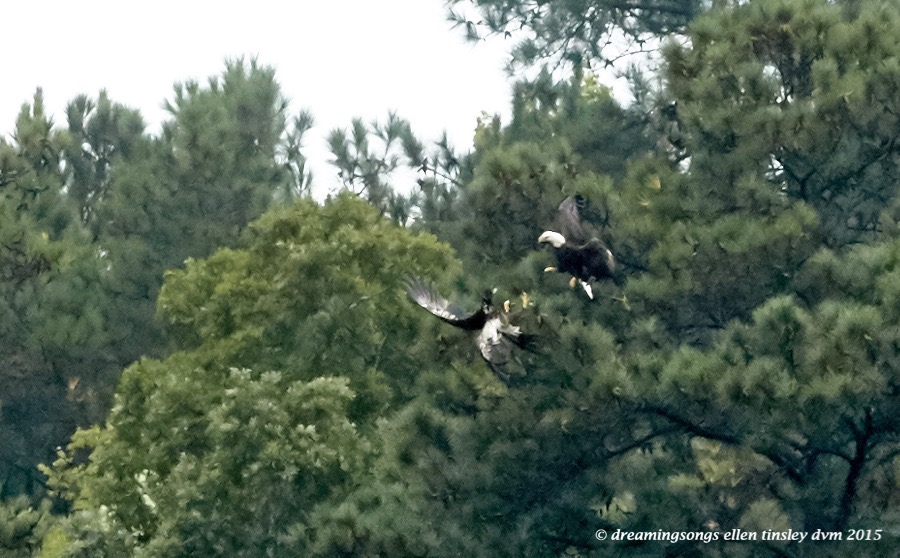 adult eagle chasing juvie