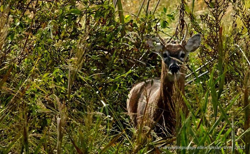 Mattamuskeet deer detail