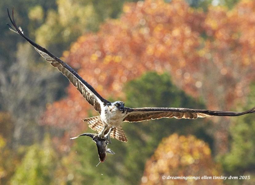 migratory osprey 1