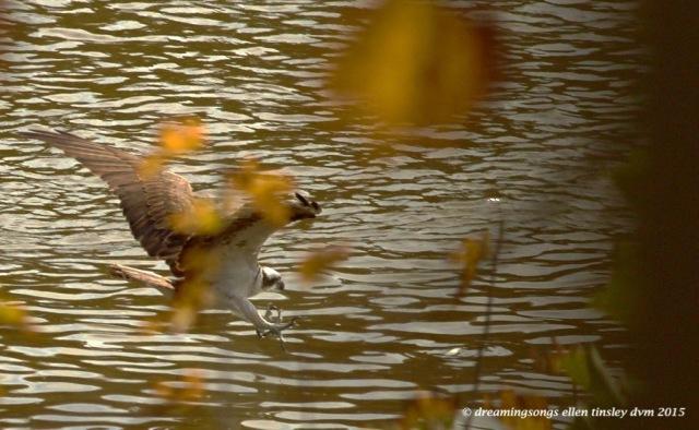 migratory osprey