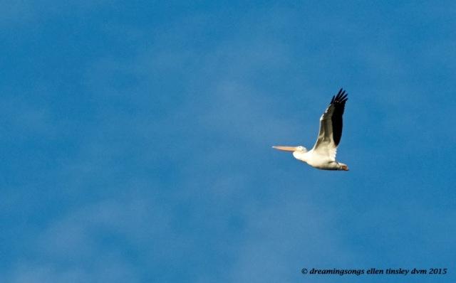 pelican Jordan