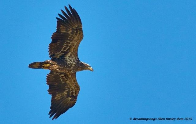 2 yo eagle
