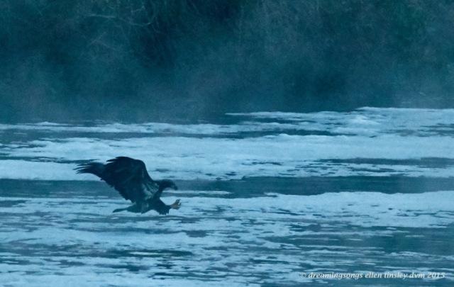 blue 2 yo eagle 1