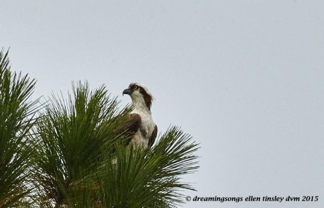 migrant osprey