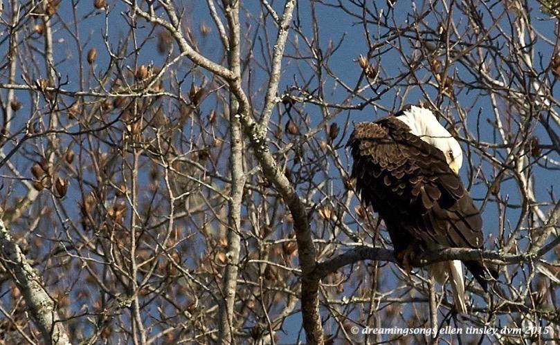 eagle itch