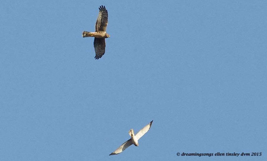 northern harrier pair