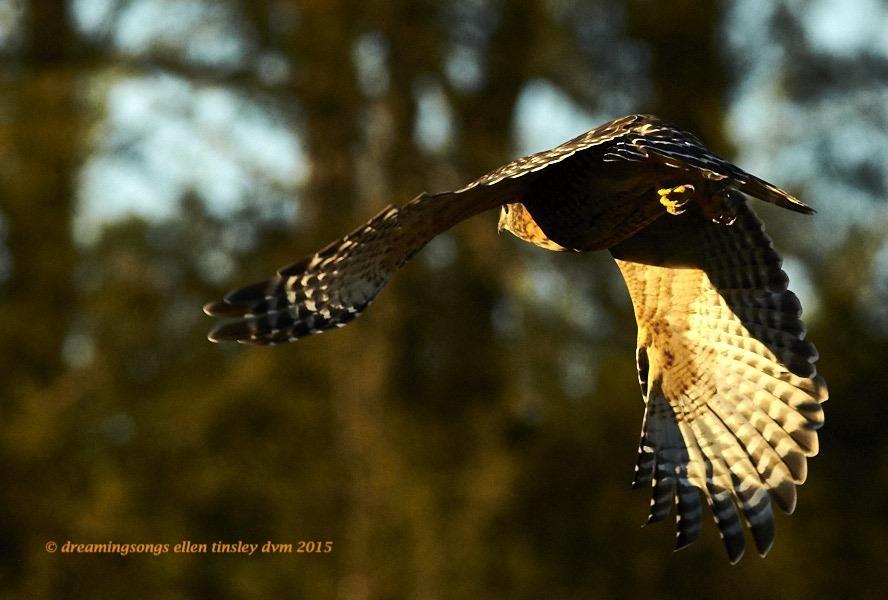 WALK8832 Dec 15 2015 @ 17-24-28 Arterred-shouldered hawk