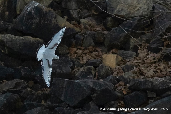 WALK9416 Dec 16 2015 @ 17-41-16 Haw RiverBonaparte's gull rescue
