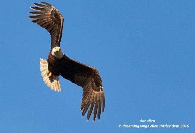 WALK6436 01-21-16 @ 16-38-11 Haw eagle reschedule