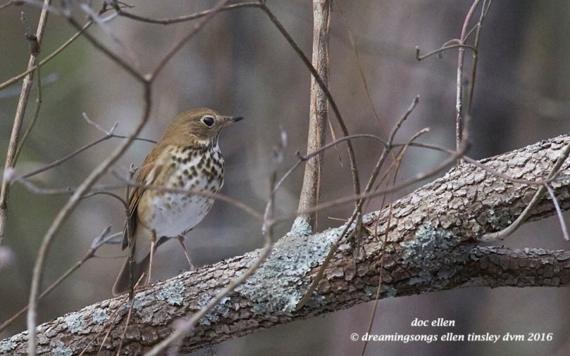 WALK6664 01-26-16 @ 15-10-16 Pea Ridge hermit thrush