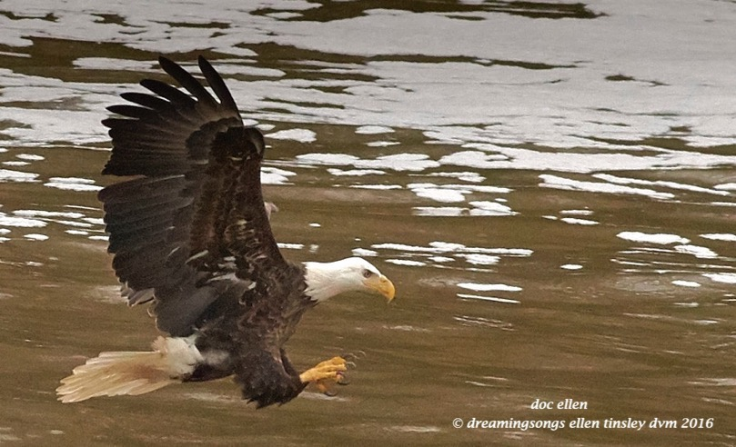 WALK7169 01-28-16 @ 16-27-15 Haw bald eagle fishing