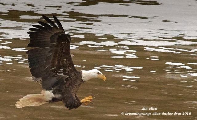 WALK7169 01-28-16 @ 16-27-15 Haw bald eagle fishing