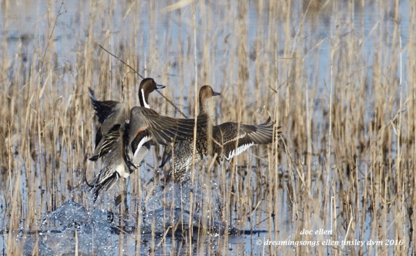 WALK1017 02-19-16 @ 09-53-33 Mattamuskeet pintail pair flight