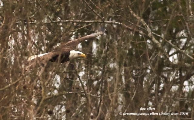 WALK9120 02-08-16 @ 16-14-53 Haw eagle thru woods