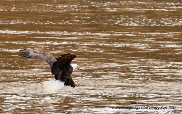 WALK9127 02-08-16 @ 16-15-12 Haw eagle fishing