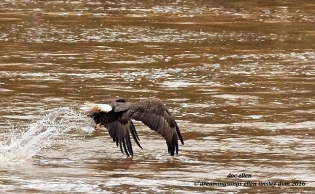 WALK9130 02-08-16 @ 16-15-13 Haw eagle fishing