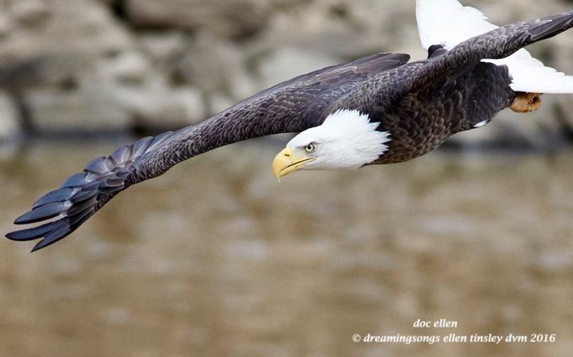 WALK9428 02-10-16 @ 15-59-15 Haw eagle fishing 1
