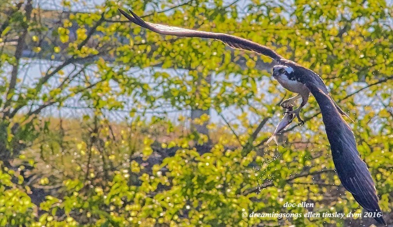 WALK8132 04-08-16 @ 08-58-35 Pea Ridge osprey and fish
