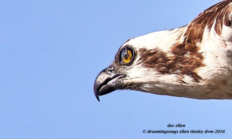 WALK4990 05-16-16 @ 08-17-31 Pea Ridge osprey eye