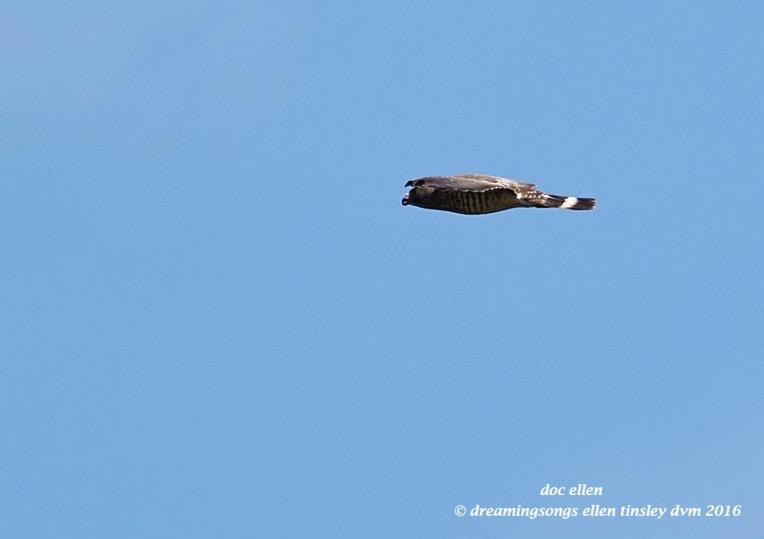 WALK0234 06-14-16 @ 13-54-24 Anderson Park broad-winged hawk