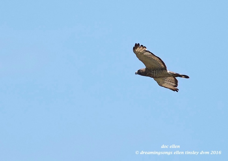 WALK0239 06-14-16 @ 13-54-25 Anderson Park broad-winged hawk