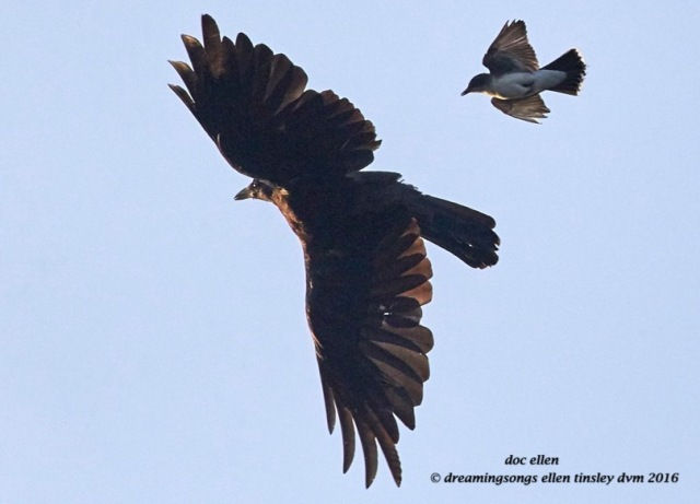 WALK2553 07-15-16 @ 06-53-43 Ebenezercrow and kingbird chase