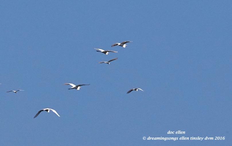 WALK3088 07-19-16 @ 09-31-34 Ebenezergreat egret snowy egret