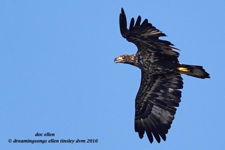 WALK7783 08-17-16 @ 09-11-53 Ebenezer 2 yo bald eagle