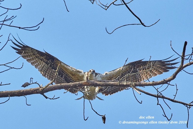 WALK9138 08-28-16 @ 09-47-03 Ebenezer osprey fledgling