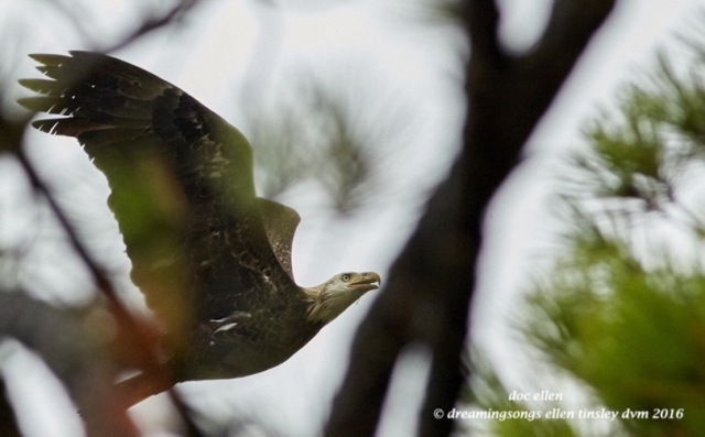 4-yo-eagle-thru-trees