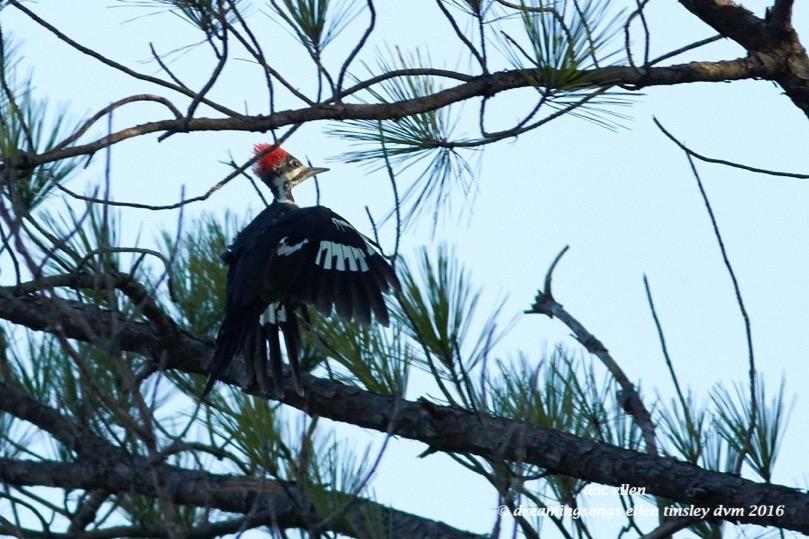 walk3055-09-14-16-08-55-36-ebenezer-pileated-woodpecker