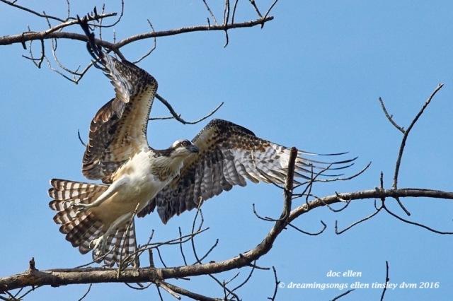WALK9177 08-28-16 @ 09-49-41 Ebenezer osprey fishing