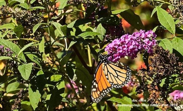 walk0560-10-24-16-11-07-38-raulston-monarch-butterfly