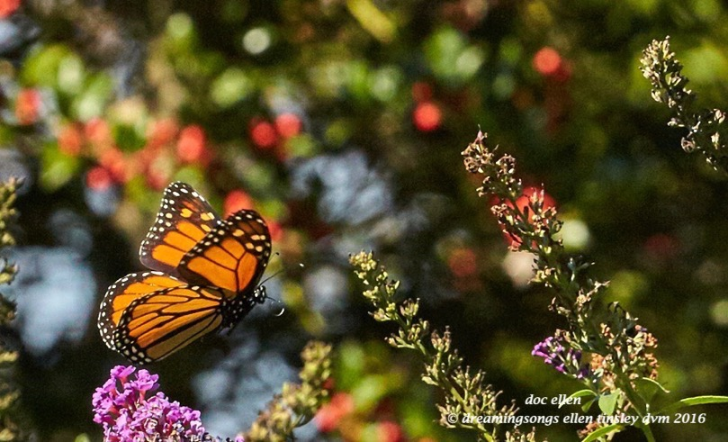 walk0580-10-24-16-11-10-10-raulston-monarch-butterfly