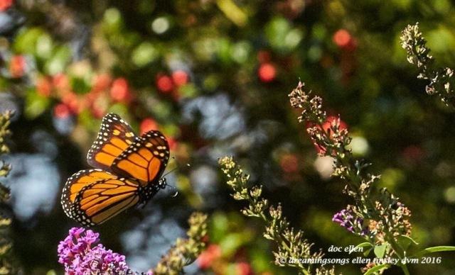 walk0580-10-24-16-11-10-10-raulston-monarch-butterfly