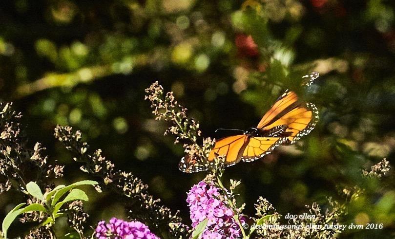 walk0597-10-24-16-11-10-43-raulston-monarch-butterfly
