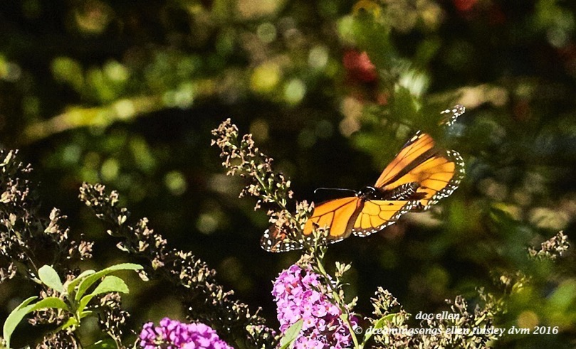 walk0597-10-24-16-11-10-43-raulston-monarch-butterfly