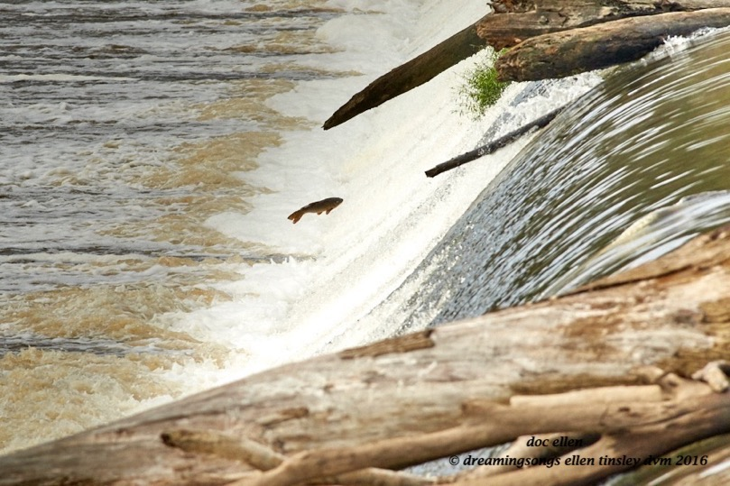 walk6990-10-04-16-10-31-01-buckhorn-carp-leap