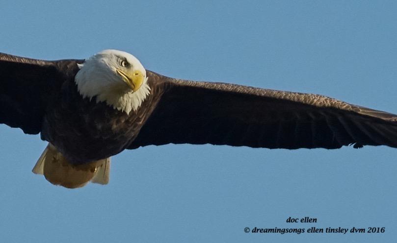 walk9774-10-17-16-09-09-35-jordan-dam-eagle-attention