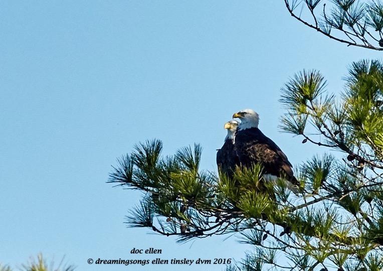 walk7142-12-01-16-11-12-05-ebenezer-new-bald-eagle-pair