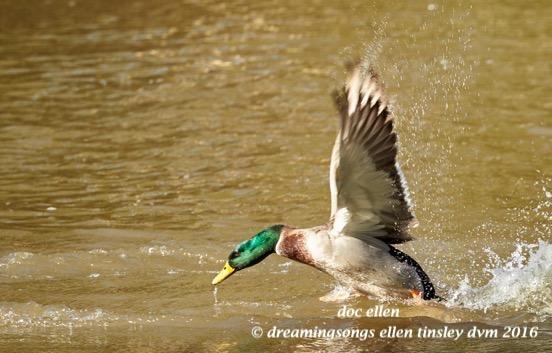 walk8055-12-03-16-12-06-17-duke-gardens-duke-waterfowl