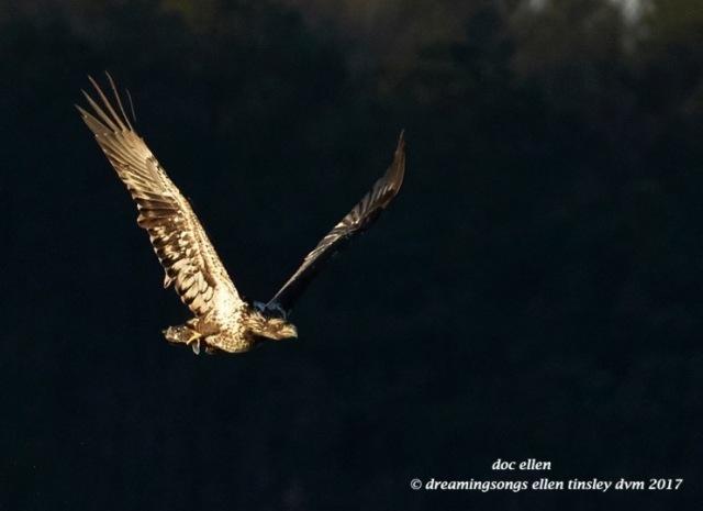 walk3939-01-23-17-09-16-11-ebenezer-feast-bald-eagles