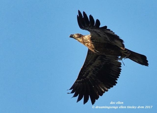 walk3999-01-23-17-09-16-51-ebenezer-feast-bald-eagles