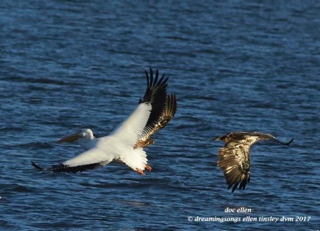 walk4250-01-23-17-09-26-30-ebenezer-feast-bald-eagles