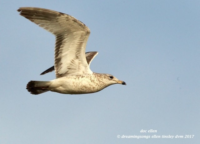 walk0106-02-21-17-09-22-06-jld-jln-herring-gull
