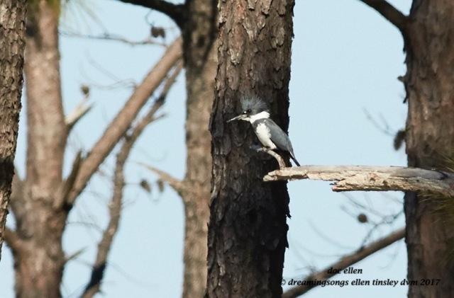 walk1044-02-27-17-10-32-09-ebenezer-belted-kingfisher