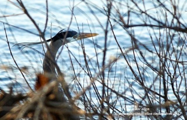 walk1758-03-02-17-08-21-52-ebenezer-great-blue-heron